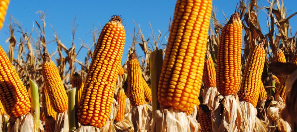 maíz 2